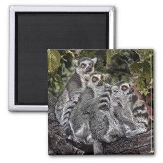 Lemurs Ringtail Magnet