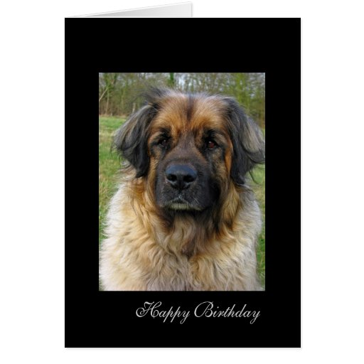 Leonberger dog birthday card, beautiful photo