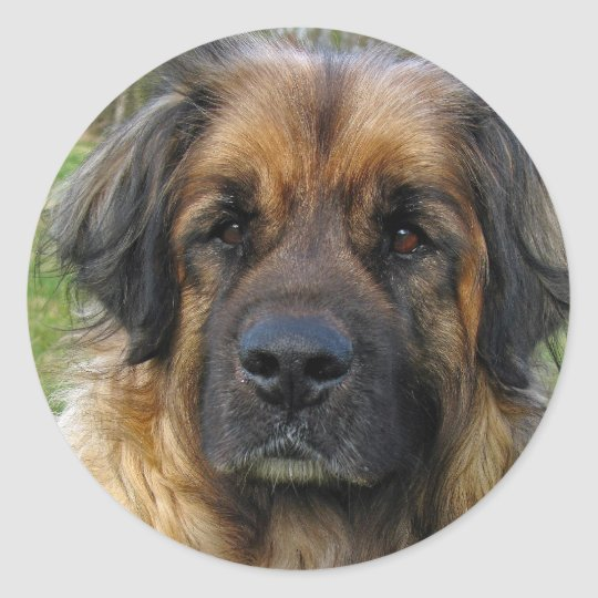 Leonberger dog stickers, beautiful photo, gift classic round