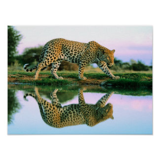 Leopard at Water Poster