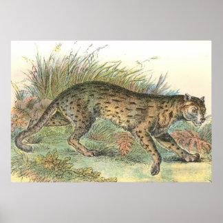 Leopard-Cat Javan Variety Felis javanensis Print