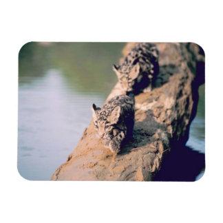 Leopard cubs on log magnet