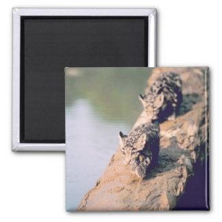 Leopard cubs on log square magnet