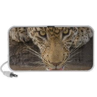 Leopard drinking, Greater Kruger National Park, Speakers