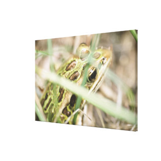Leopard frog in grass canvas print