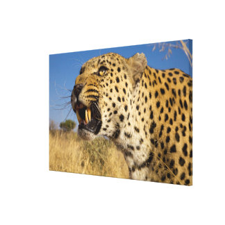 Leopard Growling Canvas Print