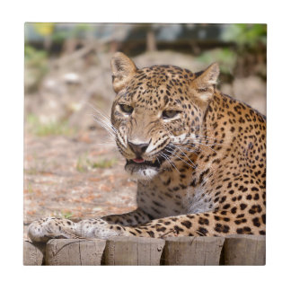 Leopard lying small square tile