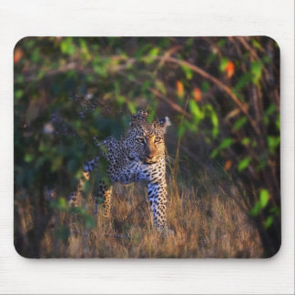Leopard (Panthera Pardus) as seen in the Masai Mouse Mat
