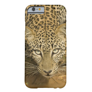 Leopard, Panthera pardus, drinking from a Barely There iPhone 6 Case