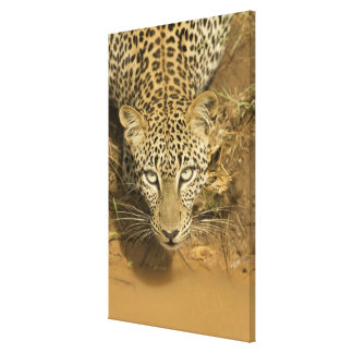 Leopard, Panthera pardus, drinking from a Gallery Wrap Canvas