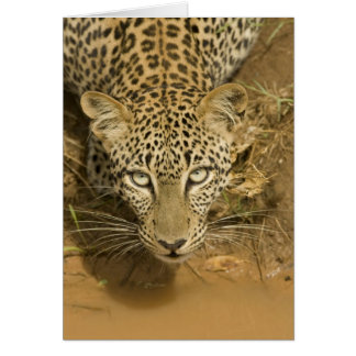 Leopard, Panthera pardus, drinking from a Card