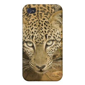 Leopard, Panthera pardus, drinking from a Case For iPhone 4