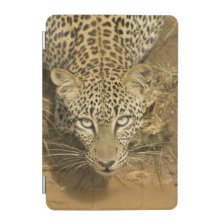 Leopard, Panthera pardus, drinking from a iPad Mini Cover