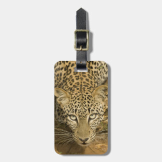 Leopard, Panthera pardus, drinking from a Luggage Tag