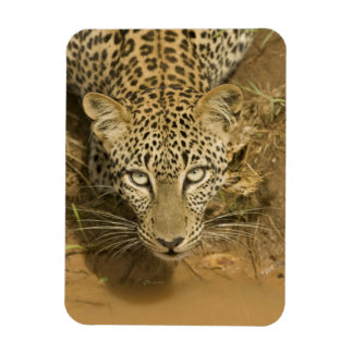 Leopard, Panthera pardus, drinking from a Magnet