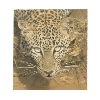 Leopard, Panthera pardus, drinking from a Notepad