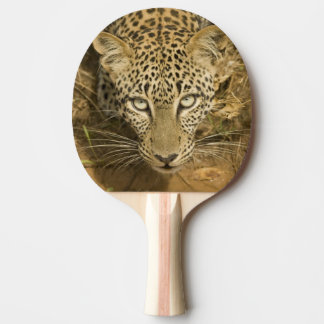 Leopard, Panthera pardus, drinking from a Ping Pong Paddle