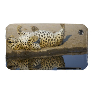 Leopard (Panthera pardus) female rolling on Case-Mate iPhone 3 Case