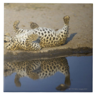 Leopard (Panthera pardus) female rolling on Tile