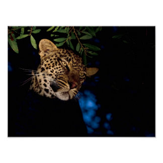 Leopard (Panthera Pardus), Greater Kruger Poster
