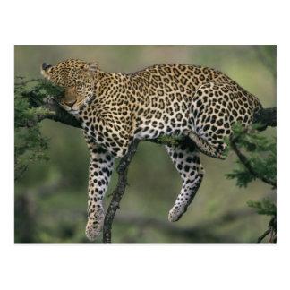 Leopard, (Panthera pardus), Kenya, Masai Mara Postcard
