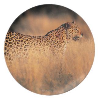Leopard (Panthera pardus) Plate