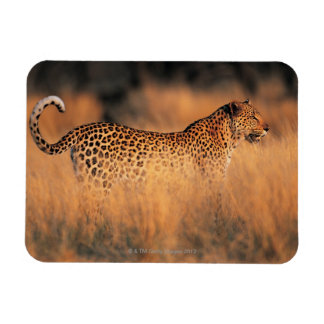Leopard (Panthera pardus) Rectangular Photo Magnet