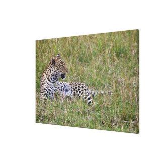 Leopard (Panthera pardus) resting in grass, Canvas Print