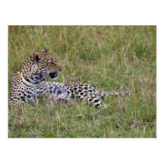 Leopard (Panthera pardus) resting in grass, Postcard