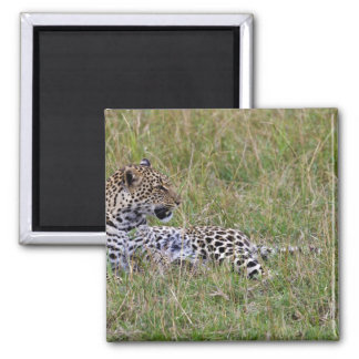 Leopard (Panthera pardus) resting in grass, Square Magnet