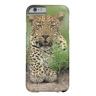Leopard, Panthera pardus, Sabi Sabi Game Barely There iPhone 6 Case