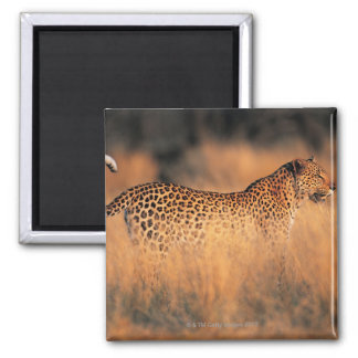 Leopard (Panthera pardus) Square Magnet