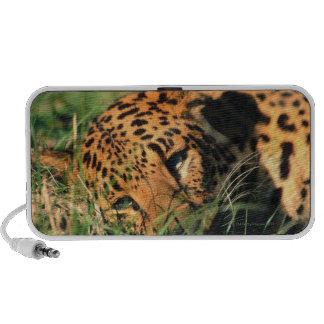 Leopard resting in grass speakers