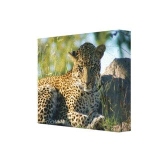 leopard resting panthera pardus Kruger Canvas Print