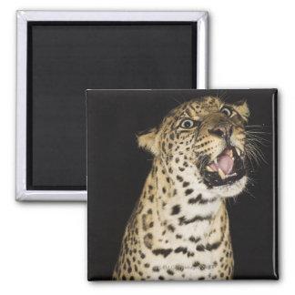Leopard roaring magnet