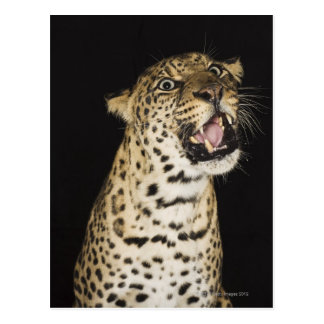 Leopard roaring postcard