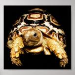 Leopard Tortoise Poster