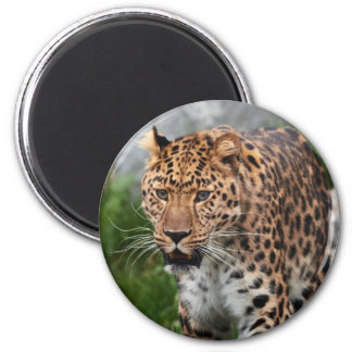 Leopard Walking Wild Refrigerator Magnets