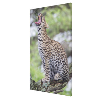 Leopard yawning, South Africa Canvas Print