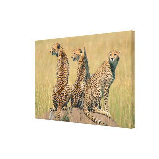 Leopards looking away canvas print