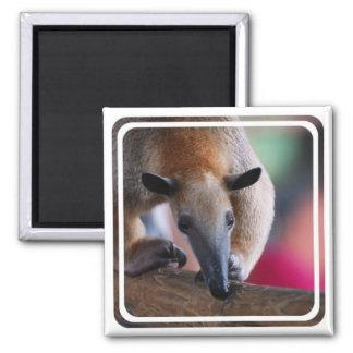 Lesser Anteater  Magnet Refrigerator Magnet