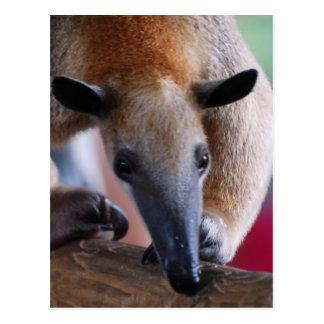 Lesser Anteater  Postcards
