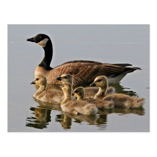 Lesser Canada Goose Brood Postcards