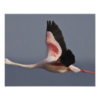 Lesser Flamingo at Lake Nakuru NP, Kenya. Poster