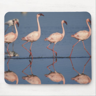 Lesser Flamingo, (Phoenicopterus minor), Mouse Pad