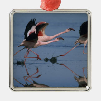 Lesser Flamingo, (Phoenicopterus minor), taking Christmas Ornament