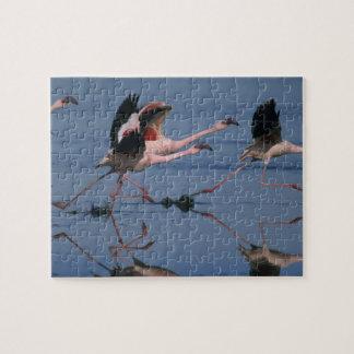 Lesser Flamingo, (Phoenicopterus minor), taking Jigsaw Puzzle