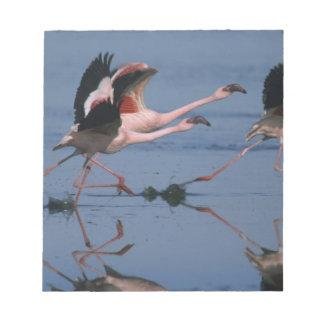 Lesser Flamingo, (Phoenicopterus minor), taking Notepad
