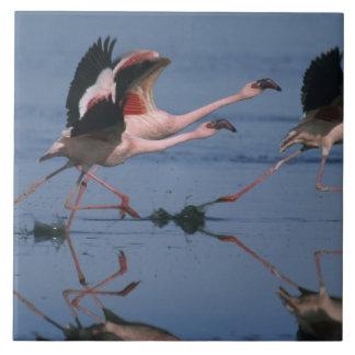 Lesser Flamingo, (Phoenicopterus minor), taking Tile