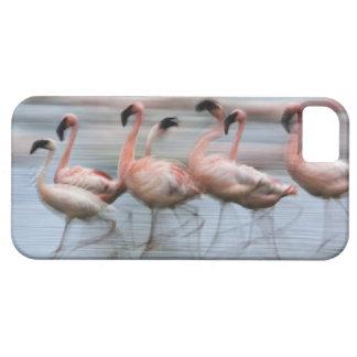 Lesser Flamingos in motion, Phoenicopterus iPhone 5 Cases